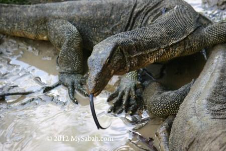 monitor lizards on Pulau Tiga Island