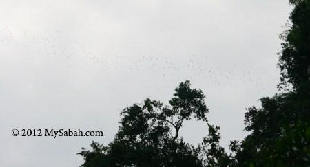 bat swarm leaving Gomantong Cave