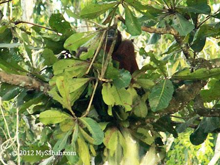 orangutan making nest on a tree