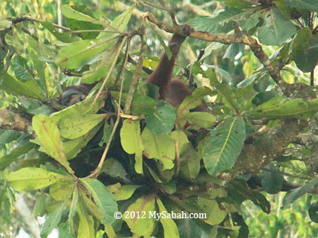 tree bed of orang-utan