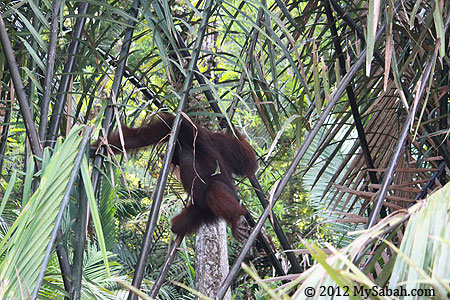 orangutan on nypa palm tree