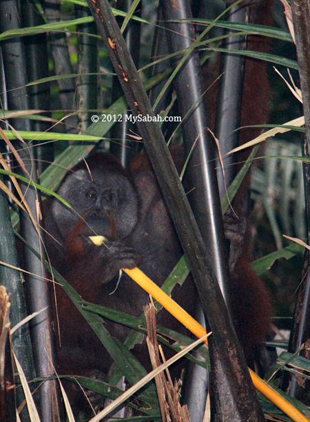 orangutan eats nipah