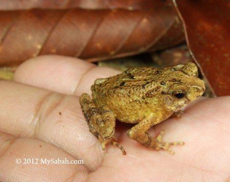 frog in Sepilok rainforest