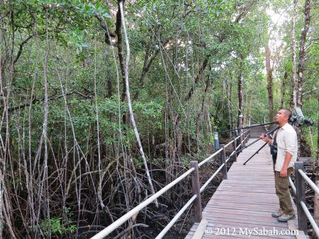 birding in Sepilok mangrove