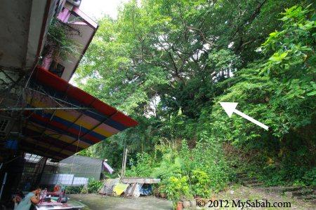 trail to the largest Banyan tree of Kota Kinabalu city