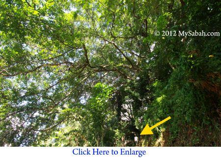 largest banyan tree of Kota Kinabalu