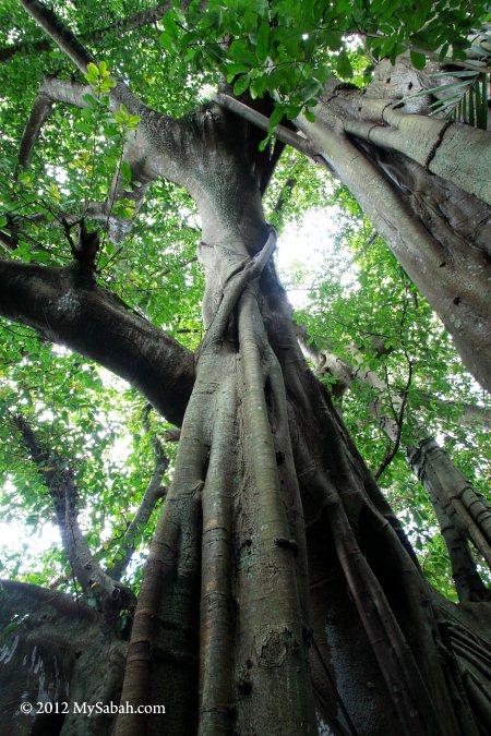 close-up of giant banyan tree