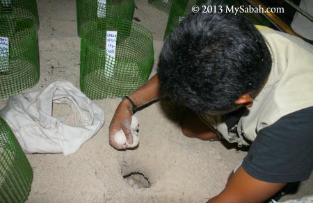 transferring turtle eggs to hatchery