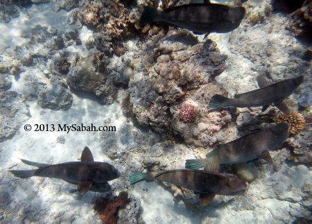 bumphead parrotfish of Sipadan