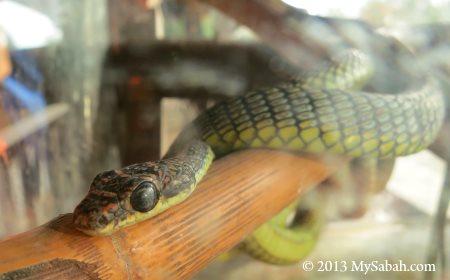paradise tree snake