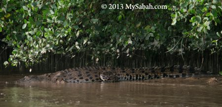 crocodile of Weston