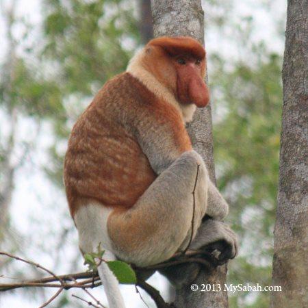 long-nosed monkey
