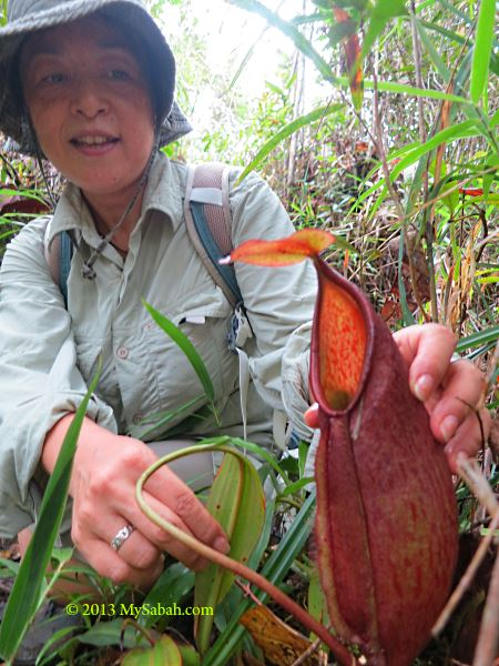 pitcher plant of Mt. Silam
