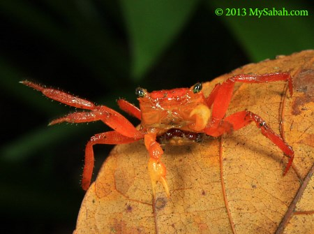 endemic land crab on Mt. Silam