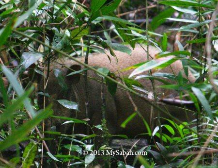 wild boar - bearded pig