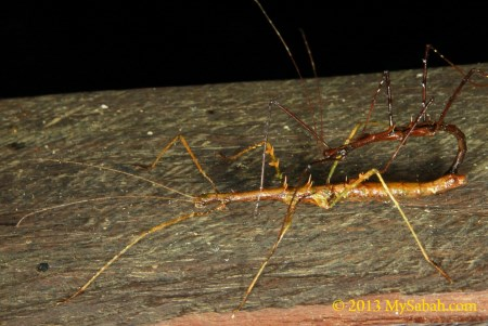 mating stick insects