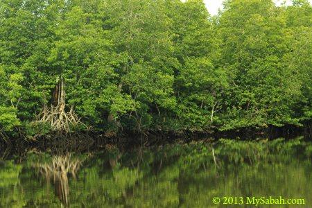 mangrove of Klias River
