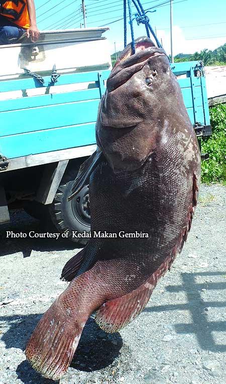 huge giant grouper