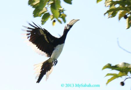 oriental-pied hornbill in flight