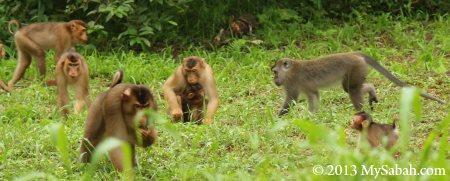 macaque gathering
