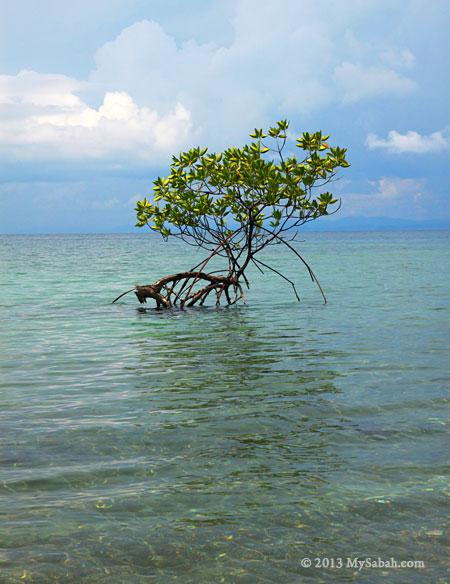 lonely mangrove tree