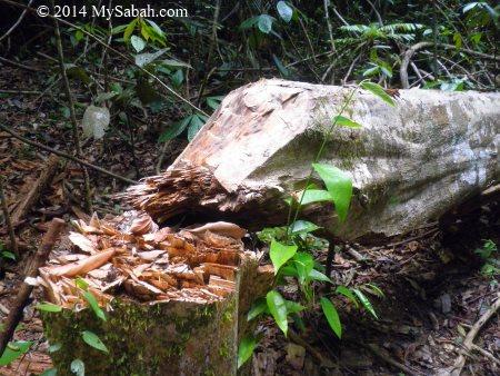 agarwood cut by thief