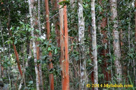 Pelawan trees