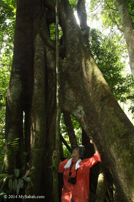 hollow in strangling fig tree