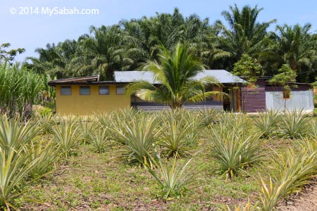 house of Tenom farmstay