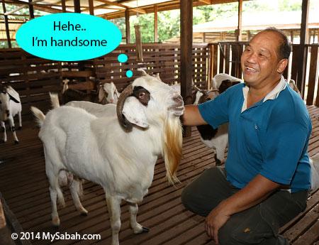 healthy goat