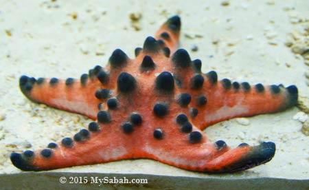 Chocolate Chip Star (Protoeaster nodosus)