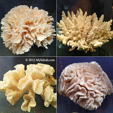 hard corals from Lahad Datu and Semporna