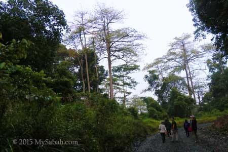 morning walk in Deramakot forest