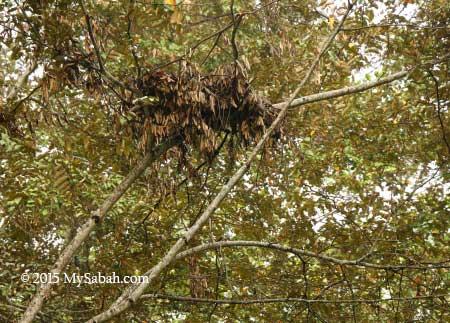 orangutan nest on the tree