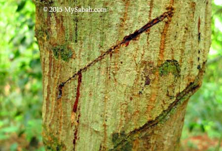 Darah-Darah the bleeding tree