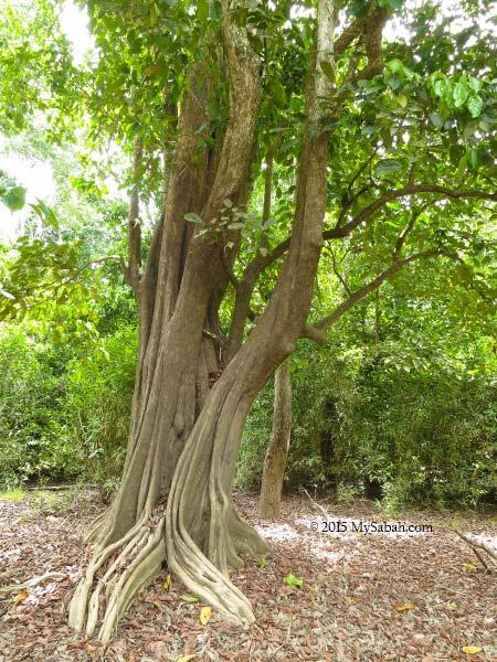 silungapid tree