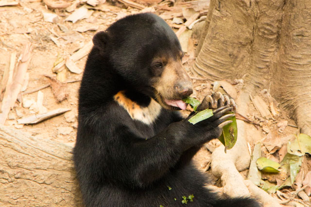 Bornean Sun Bear, the smallest bear in the world