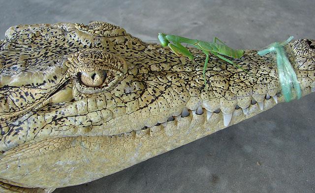 Crocodile Vs Mantis