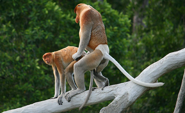 Proboscis Monkeys, Klias Wetlands