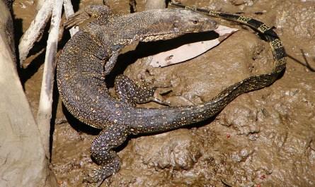 Monitor Lizard in mangrove