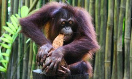 orangutan open coconut