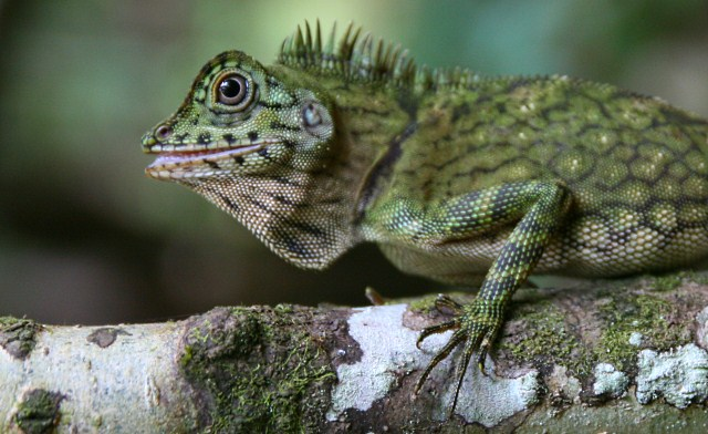 Comb-crested Agamid