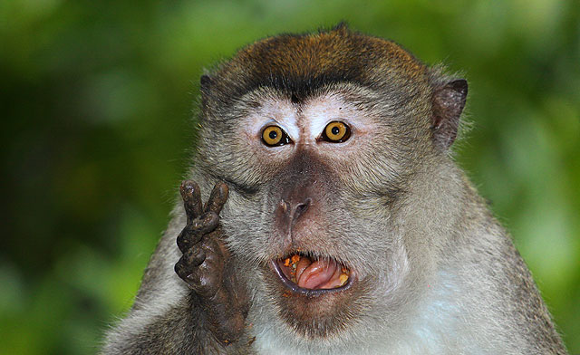 crab-eating monkey