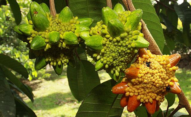 Kesusu, the Coolest Fruit of Borneo!!!