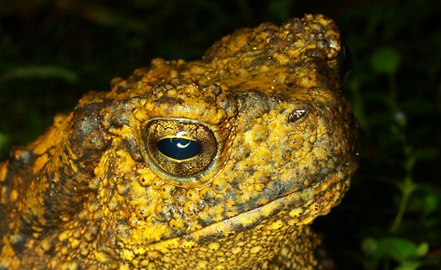 Giant river toad