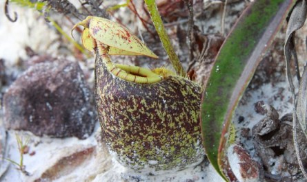 Nepenthes of Weston