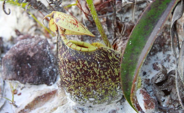 Pitcher Plant Hunting in Weston