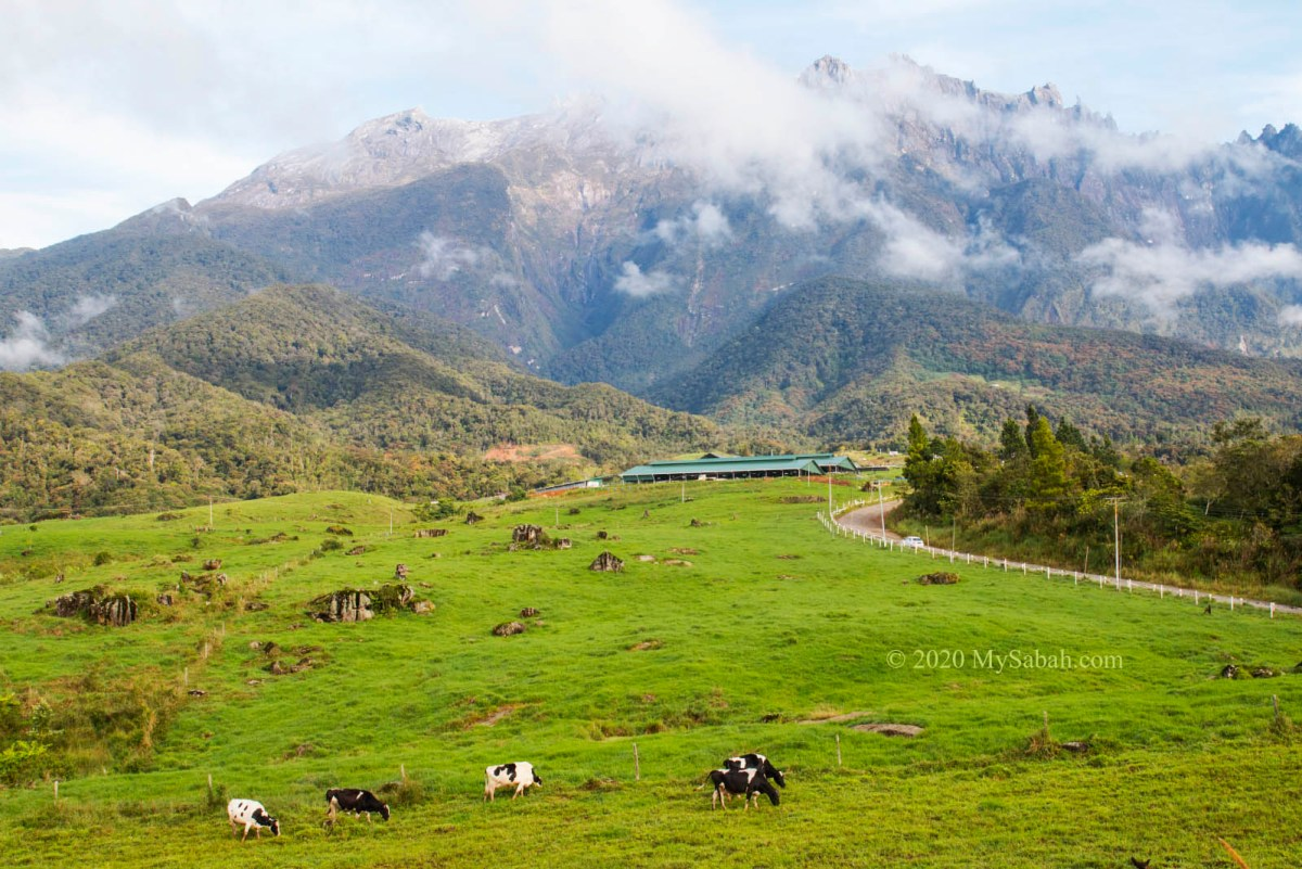 Green pasture and milk cows of DESA Cattle Farm