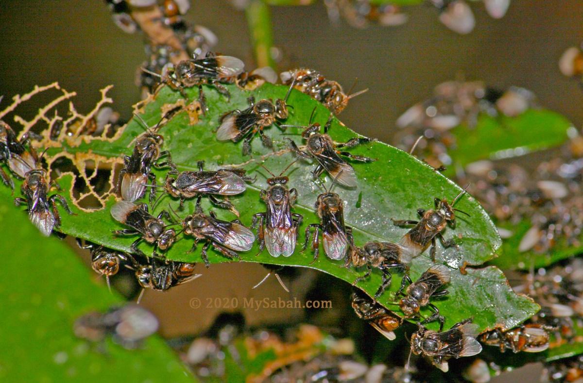 Stingless bees (kelulut) congregate on a leaf
