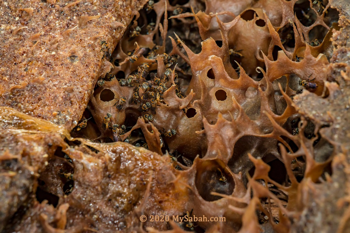 Close-up of stingless bees (kelulut) and their nest